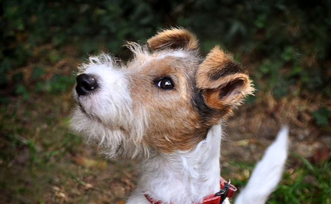 Fox terrier elevage