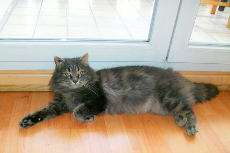 Maine coon non loof