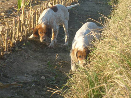 Setter anglais chasse