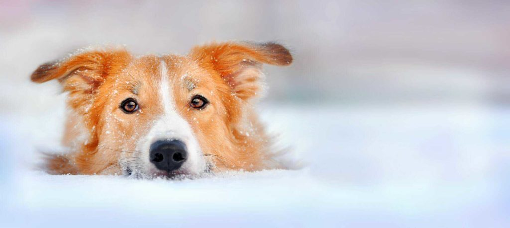 Border collie golden retriever