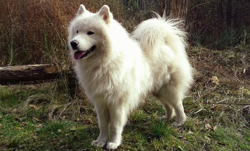 Elevage samoyede france